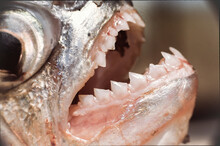 Close Up Of The Sharp Razor Teeth Of A Piranha Caught In A Venezuela River Near The Amazon  Royalty Free Stock Photo