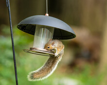 Gray Squirrel Enjoying A Meal On A Squirrel-proof Outdoor Bird Feeder With Indistinct Bokeh Background