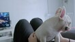 Cute pretty young little white french bulldog lying on owner's body and playing together in living room at home