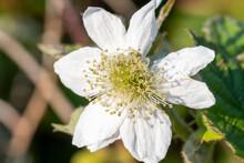 Close Up Of A White Bramble (r...