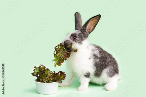 Fototapeta little baby rabbit eating fresh vegetables, lettuce leaves on green background. feeding the rodent with a balanced diet, food. bunny is a Easter symbol. copy space, place for text. obraz