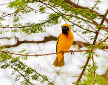 Southern Masked Weaver, Kenya