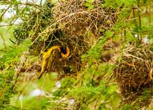 Southern Masked Weaver Building Nest, Kenya