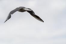 Seagull Flying Away Wings Spre...