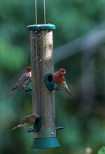 Two Red Finches On Bird Feeder On A Sunny Summer Day