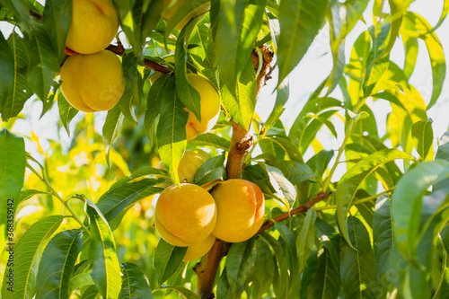 Obraz Branch with unripe peaches on summer day - fototapety do salonu
