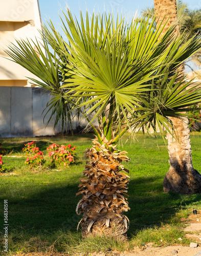 Obraz na plátně Washingtonia filifera, also known as desert fan palm, California fan palm and petticoat palm