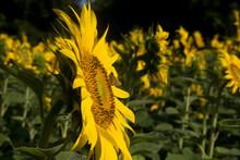 A Sunflower Field Reaches Its ...