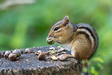 Eastern Chipmunk Perched On A ...