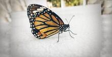 Black Swallowtail Butterfly Is...