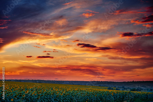 Foto sunflower field in a beautiful sunset, sunlight and clouds