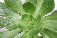 Kalanchoe Succulent Plant Is A...