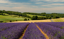 Lavender Fields At Snowshill, Cotswolds Gloucestershire England UK