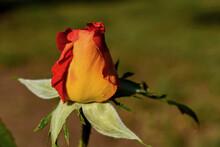 Capullo De Rosa Rojo Anaranjad...