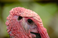 Ugly Turkey Close Up In The Green Depth Background.