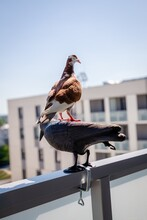 Red White Pigeon Sitting On A ...