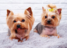 Two Yorkshire Terrier Puppies ...