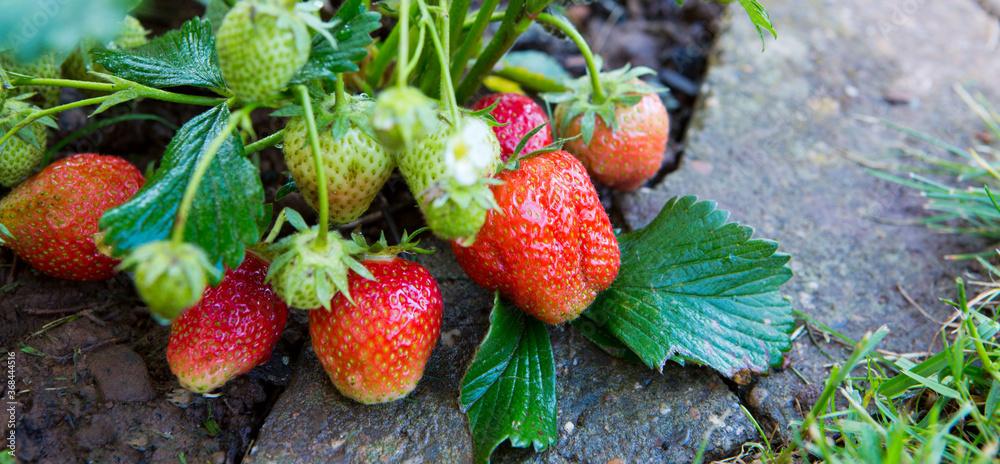 Fototapeta Red ripe strawberries in a summer garden.