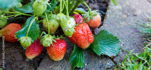Obraz Red ripe strawberries in a summer garden. - fototapety do salonu