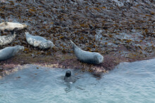 Seals Basking In The Seaweed And Sun At Bempton Cliffs, Bridlington, East Yorkshire