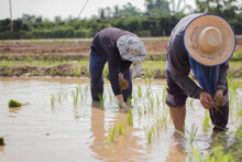 Two Farmers Are Planting Rice ...