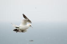 A Gannet Flying Over Bempton Cliffs, Bridlington, East Yorkshire