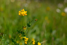 Lotus Corniculatus Is A Flowering Plant In The Pea Family Fabaceae. Macro Shot Of Common Birds Foot Trefoil (lotus Corniculatus) Flowers.