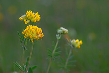 Anthyllis Vulneraria, The Common Kidneyvetch, Kidney Vetch Or Woundwort Is A Medicinal Plant  Native To Europe. Common Kidneyvetch (Anthyllis Vulneraria) Flowers