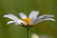 Oxeye Daisy (Leucanthemum Vulgare) Flowers In Green Grass. Leucanthemum Vulgare, Commonly Known As The Ox-eye Daisy, Oxeye Daisy, Dog Daisy, Is A Widespread Flowering Plant Native