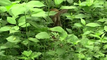 Whitetail Fawn Deer Baby Hiding In Weeds Looking Behind Turns And Runs Away