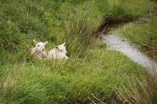 Little Lambs By The Stream