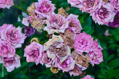 Fototapeta Close-up - wilting pink roses on a bush growing in the garden