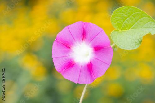 Fototapety, obrazy: pink morning glory flower macro shot