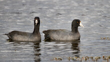 A Pair Of American Coots Swimming