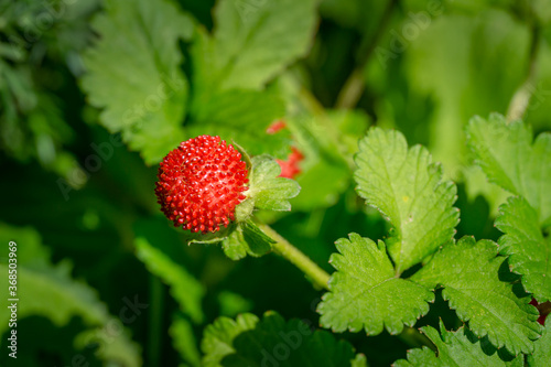 Fotografija Red Duchesnea Indica berry witn green leaves in the garden