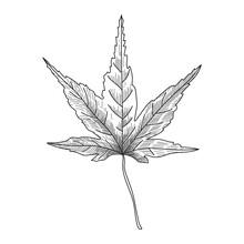 Japanese Maple Leaf In Engravi...