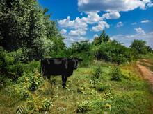 A Black Cow Grazes On The Edge...