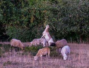 Obraz na płótnie Canvas Schafe auf der Weide am Abend