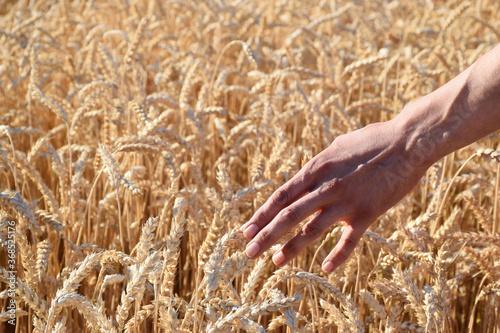 Valokuvatapetti Farmer in a field of wheat checks the ripened ears