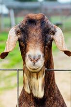 Brown Goat On Family Farm