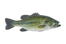 Largemouth Bass Fish Isolated On White Background