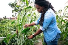Farmer Inspecting Crops On Rur...