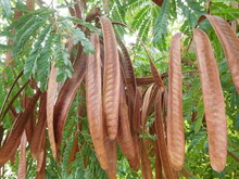 Mimosa Pods Of Seed. Albizia L...