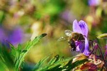 Honeybee Collecting Pollen From Purple Wildflower