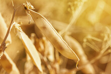 Rural Landscape, Banner - Pea Pod In The Rays Of The Summer Sun, Closeup With Space For Text