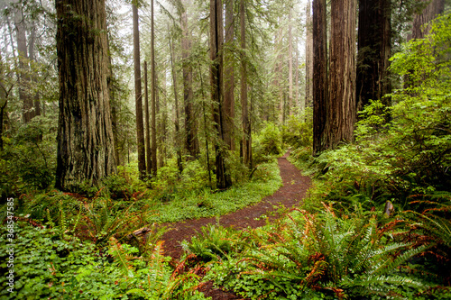 Fototapeta A trail through a redwood forest just north of Mendocino, California