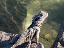 Eastern Water Dragon, (Intella...