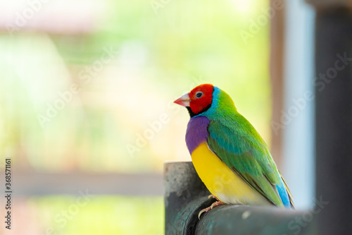 Photographie Beautiful multi colored Gouldian finch bird