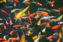 Pond With Goldfish Or Golden C...