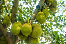 Immature Jackfruit